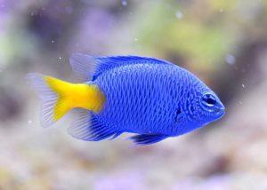 Blauer Fisch mit gelber Schwanzflosse