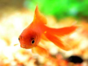 Goldfisch erschreckt sich