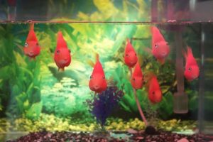 freundliche rote Tropenfische